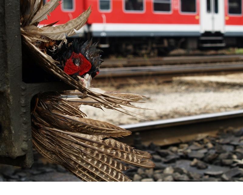 Ezt a fácánt sajnos elkapta a vonat fotó