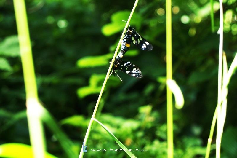 Valami rovarok, de nem lepkék fotó