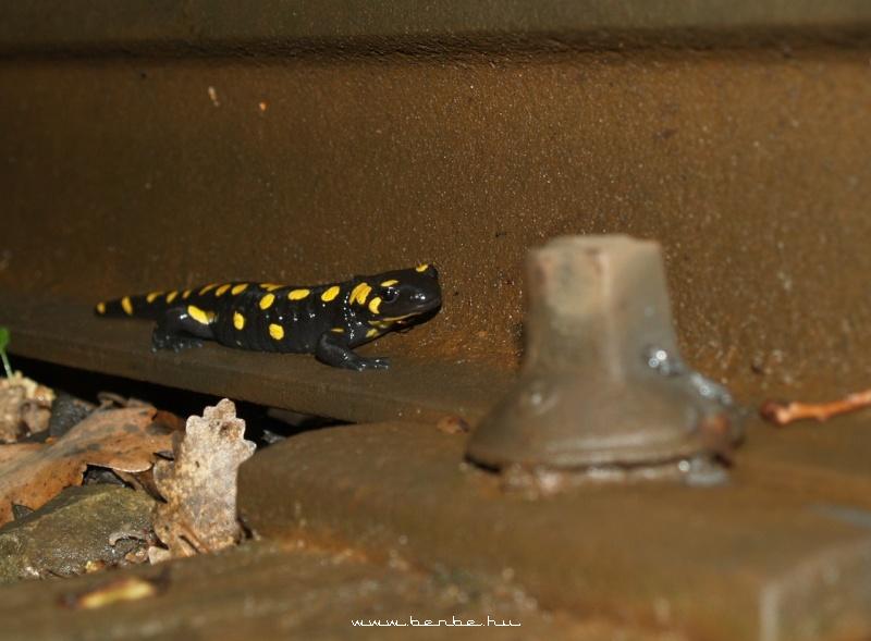 Foltos szalamandra a nedves sínen fotó