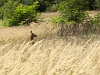 A roe deer appears from nowhere