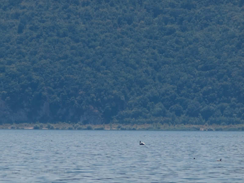 One of the six pelicans to be found on Lake Prespa photo