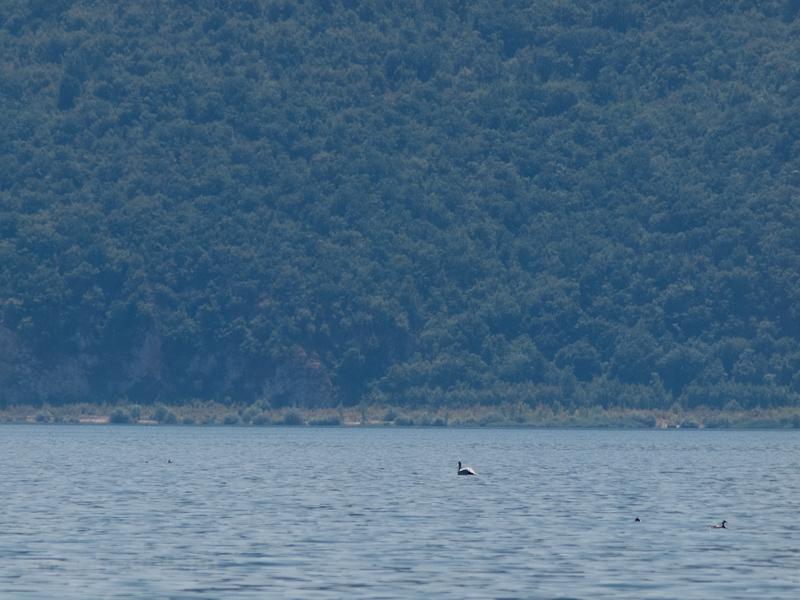Az Prespa-tó hat pelikánján fotó