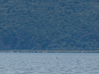 One of the six pelicans to be found on Lake Prespa
