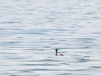 Great Crested Grebe at Lake Prespa