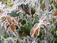 Frost on the late leaves