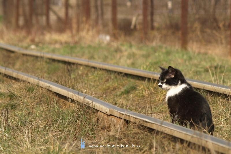Macska a kisvasúti vágányon Nagyszőlősön fotó
