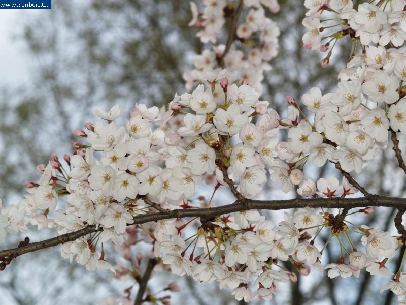Cseresznyevirágok fotó