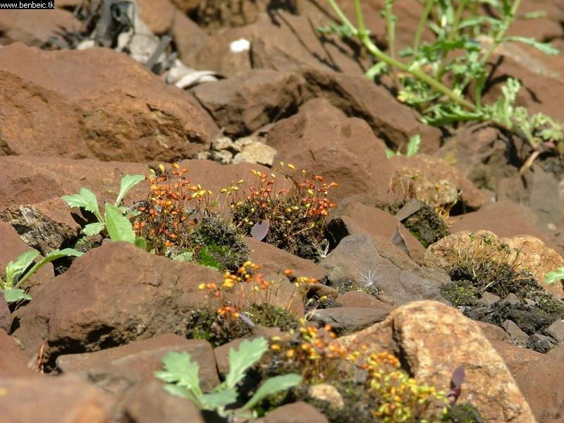 Színes, virágzó mohák az ágyazatban fotó