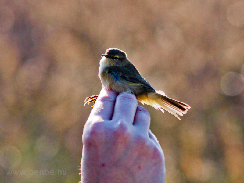 Ringing a bird photo