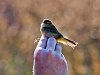 Ringing a bird