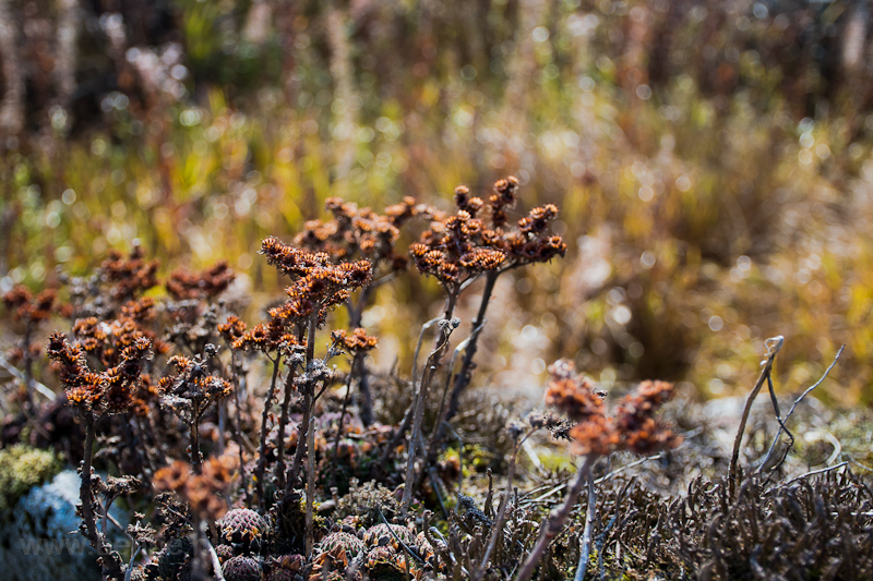 Magashegyi növények fotó