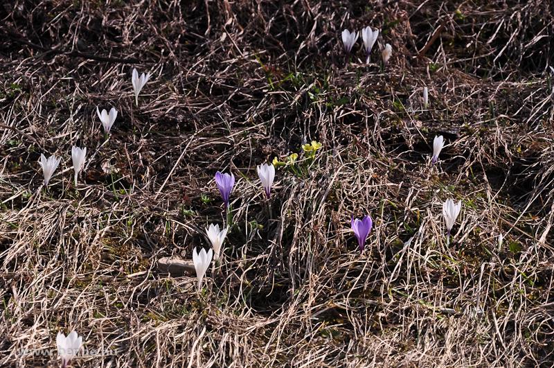 Tavaszi héricsek és kökörcsinek a Bergün melletti dombon fotó