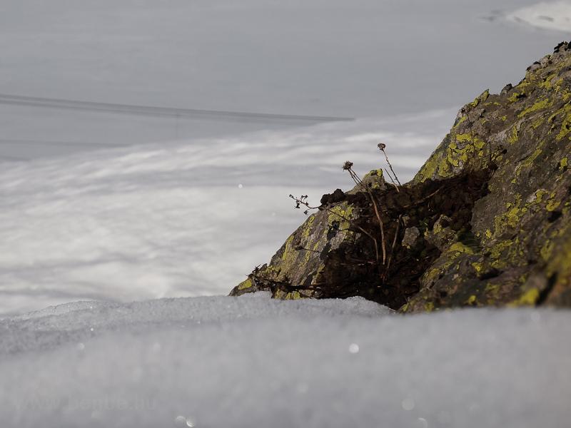 Próbálkozik a növényzet előtörni a hó alól fotó