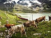An RhB Allegra seen together with a few cows between Ospizio Bernina and Bernina Lagalb
