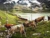Egy RhB Allegra és egy tehéncsorda Ospizio Bernina és Bernina Lagalb között