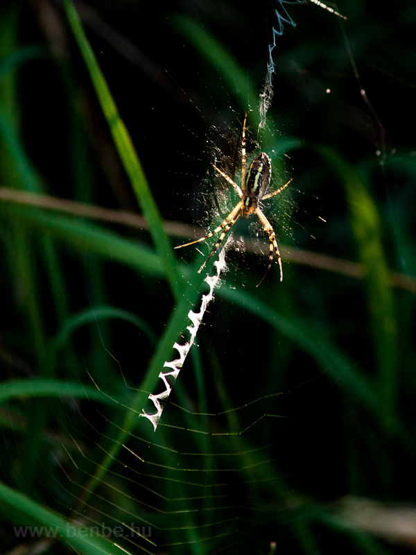 Spider, but not Regio photo