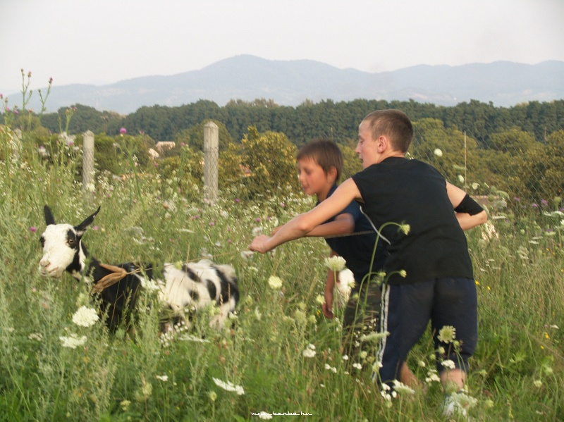 A kecske irányba állítása fotó
